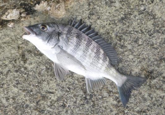 オルルド釣具 黒鯛釣り